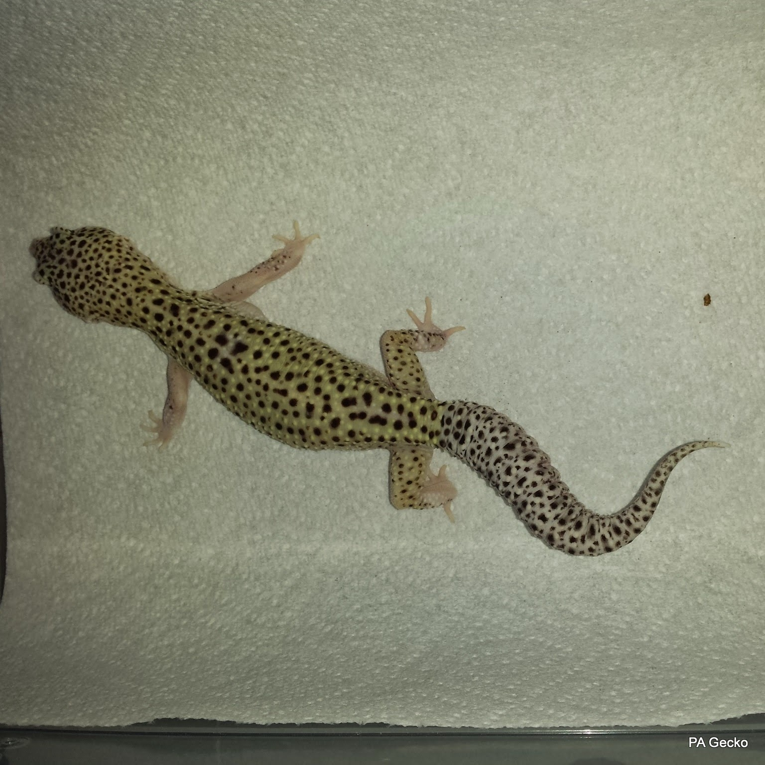 PA Gecko Snow Eclipse Female 1