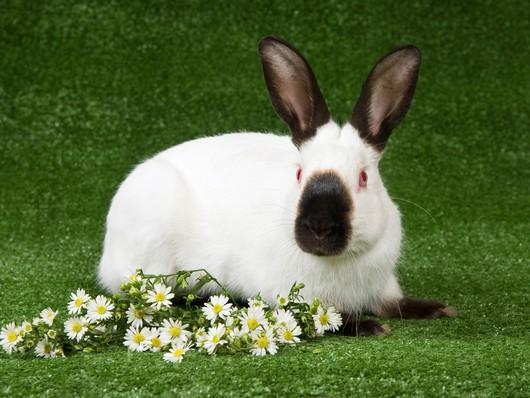 fantastica animal himalayan rabbit information