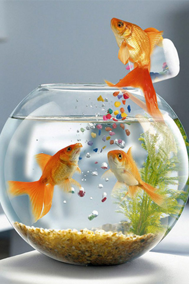 Goldfish Surprise IPhone Wallpaper