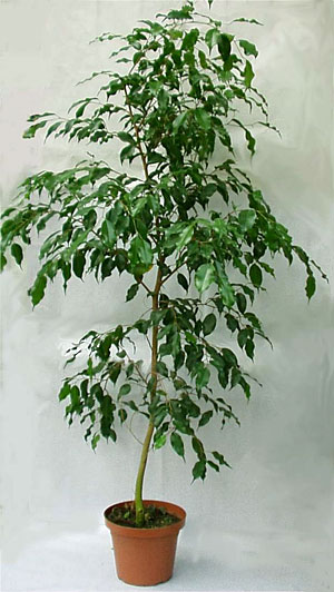 Plantas iguazu for Ficus planta interior