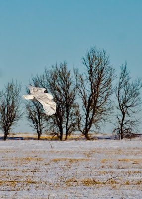 Snowy Owl - photo by Shelley Banks
