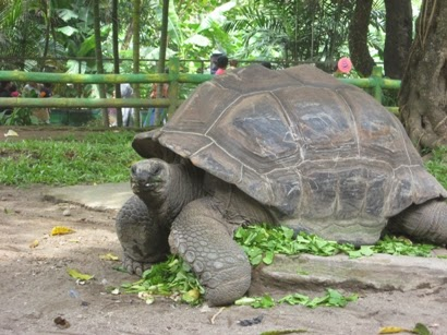 gambar kura-kura aldabra