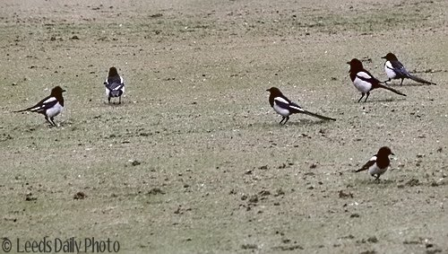 Group of Magpies