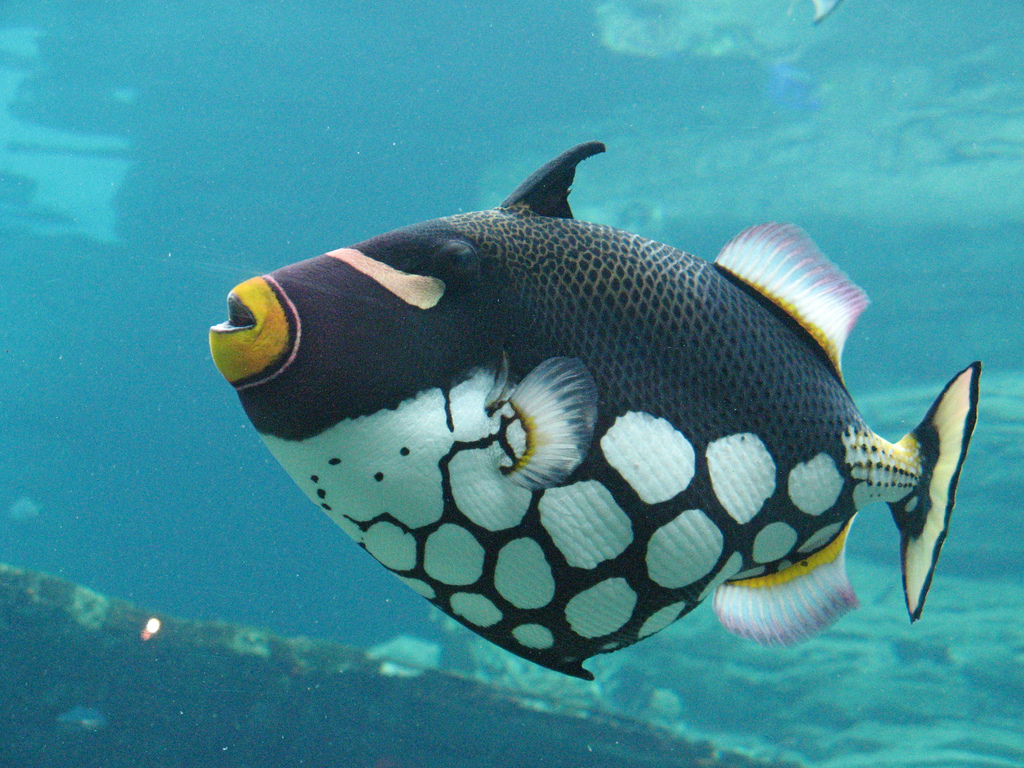 Gambarfotojenis Macam Nama Ikan Hias Air Laut Freewaremini Robot Bisa Berenang Seperti Sungguhan Merupakan Yang Berwarna Cerah Dari Keluarga Balistidae Sering Ditandai Dengan Garis Dan Bintik Mereka Menghuni Lautan Tropis Subtropis Di