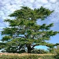 The Lord's Cedar Tree