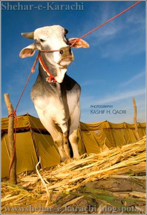 Cow Malir Mandi 2014 Karachi Cow Mandi Cow Mandi 2014 Cow