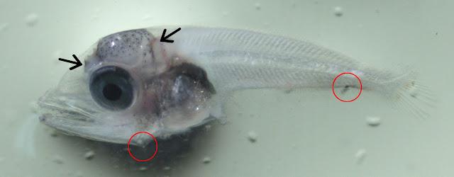 Larval skipjack tuna ID
