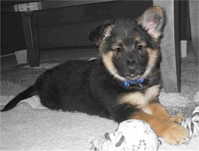 Cute Puppy Dogs Cute German Shepherd Mix Puppies