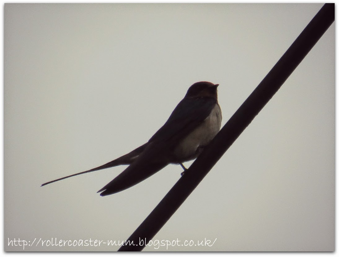 Swallow on 'phone wire