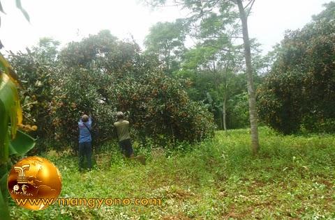Duuh. Harga Rambutan di tingkat petani cuma Rp 3.000