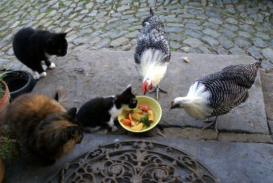 Cats and chickens eating fruit in Everbeek