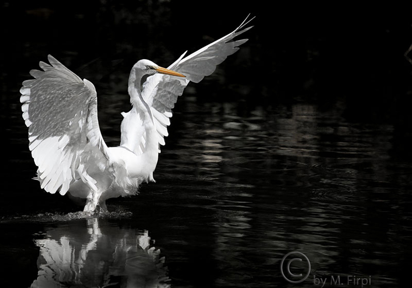 The Great White Egret Landing Focusing On Wildlife