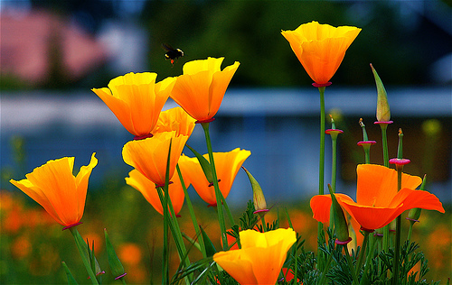 Nincompoopery the things you learn edition california state flower today there was a story about the poppy runner up when california voted for a state flower it is the malitja poppy the thing about poppies is mightylinksfo