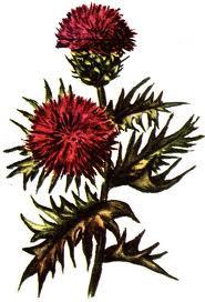 Anghinarea, o planta cu multiple indicatii
