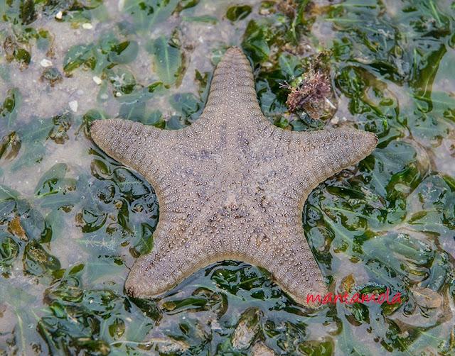 Biscuit star (Goniodiscaster scaber)