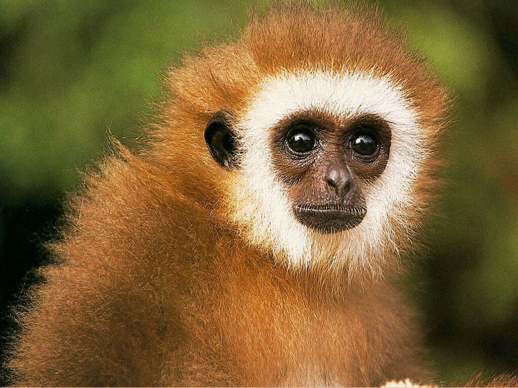 funny baboon wallpaper for desktop funny animal