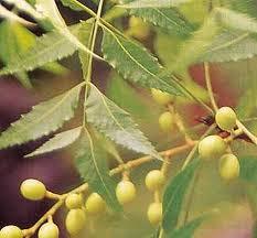 Mindi adalah tanaman pohon dari famili Meliaceae. Mindi juga dikenal sebagai renceh (Sumatera) dan gringging, mindi, cakra-cikri (Jawa )  Kandungan dan manfaat  Kulit batang dan kulit akar mindi kecil mengandung toosendanin, margoside, kaemferol, resin, tannin dan trirterpene kulinone sehingga dapat digunakan menyembuhkan cacingan dan hipertensi. Kandungan bahan aktif pada daun mindi adalah flavone glicoside, quercitrin, dan kaemferol, selain itu daun tumbuhan ini mengandung protein yang tinggi yang bersifat insektisidal dan bersifat penolak terhadap nematoda. Mindi kecil juga terbukti dapat menekan penyakit bengkak akar yang disebabkan oleh Meloidogyne spp. pada tanaman tomat.