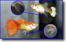 Ecolocombiana for Reproduccion de peces ornamentales