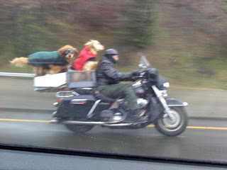 Motard com os seus dois cães