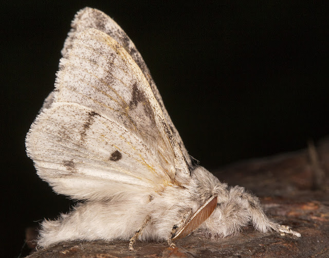 Pale Tussock, Calliteara pudibunda.  Lymantriidae.  In my garden actinic light trap on the balcony in Hayes on 14 June 2013.