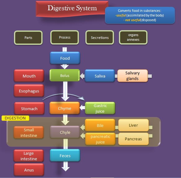 Educative diagrams: Digestive System Diagram