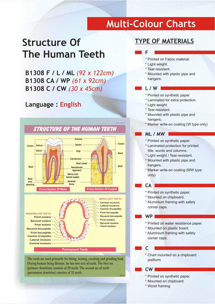 composition of a human tooth If we take a section of a human tooth we will be able to distinguish 4  the main parts of tooth anatomy are enamel  but with a less inorganic composition.