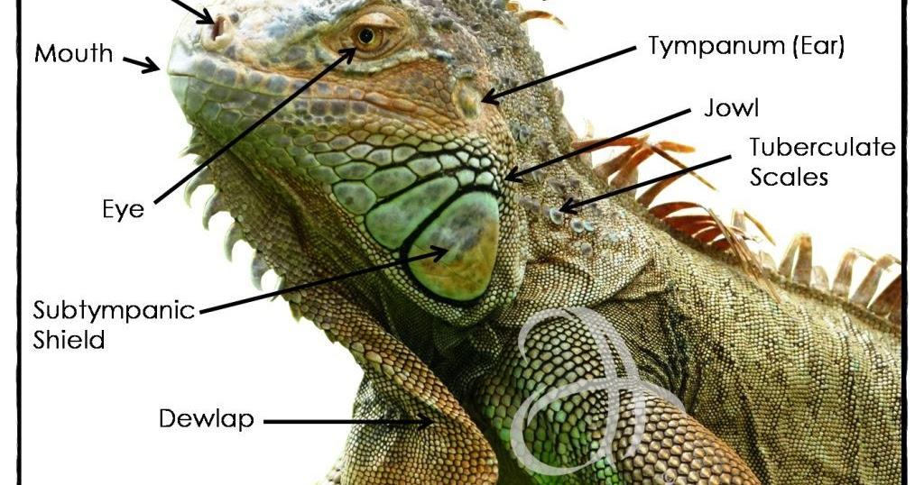 a.r.e.p a.h.m.a.d ~: ~ Iguana Anatomy ~