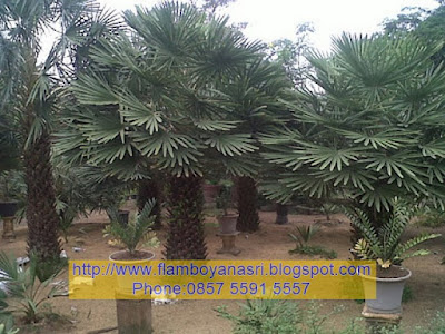 Tukang taman surabaya tanaman palem
