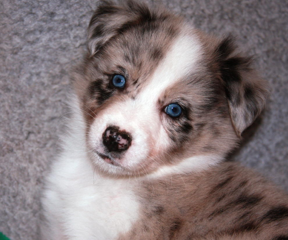 Australian Shepherd Puppies with Blue Eyes