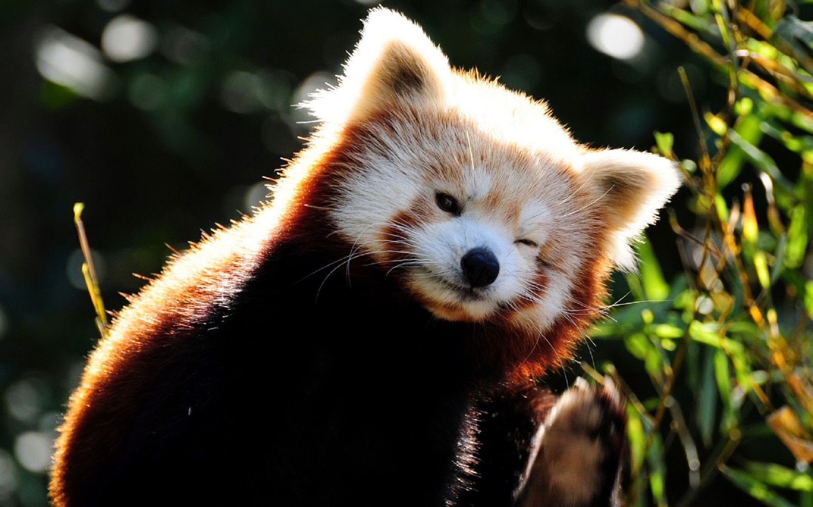 40 Adorable red panda pictures (40 pics), cute red panda winks his eye
