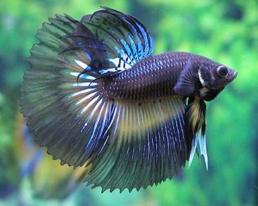 ikan cupang atau yang dikenal dengan ikan betha ini memang sangat ...
