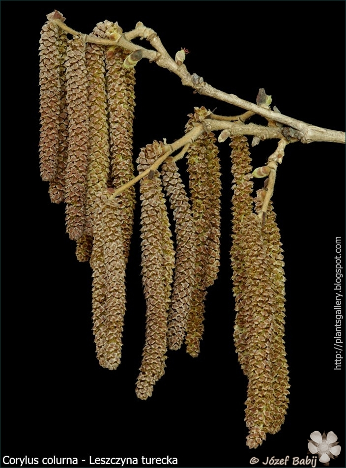 Corylus colurna male flowers - Leszczyna turecka kwiaty męskie