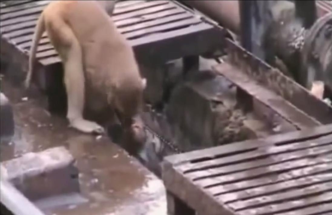 Un Eroe Scimmia