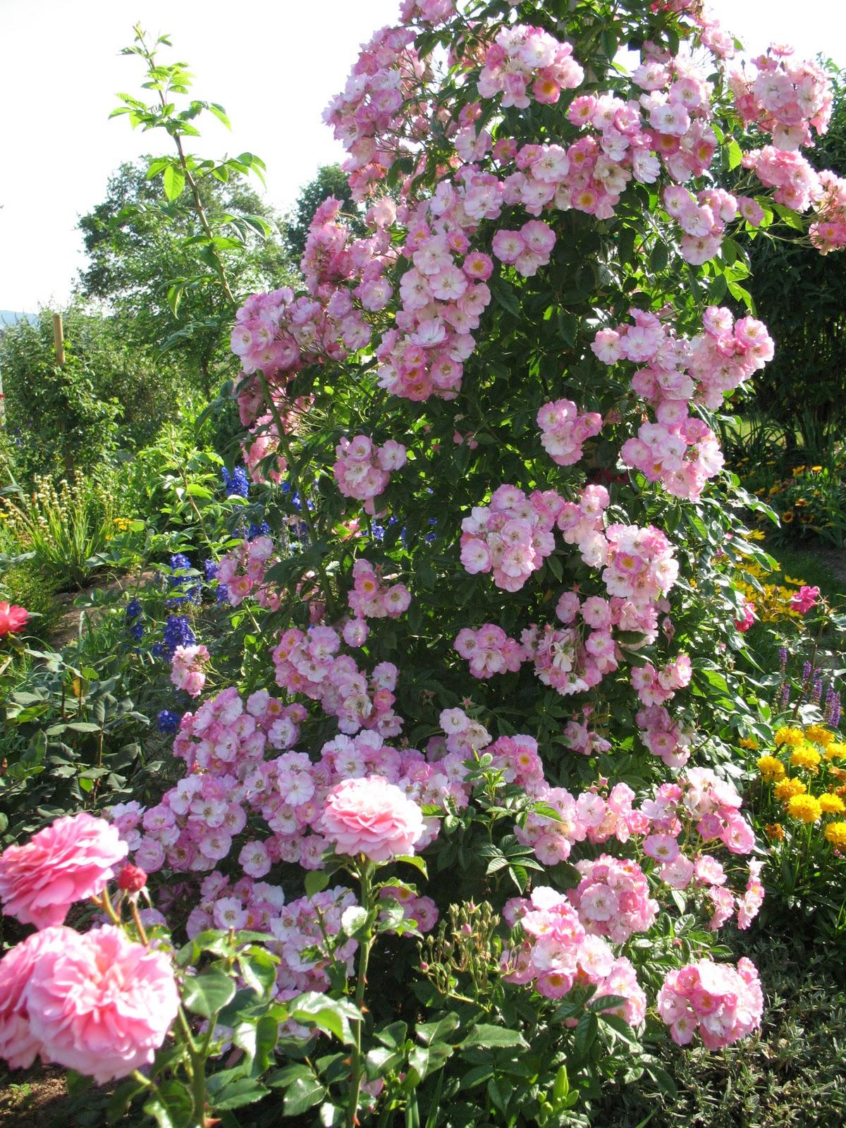 roses du jardin ch neland rosier albert poyet. Black Bedroom Furniture Sets. Home Design Ideas