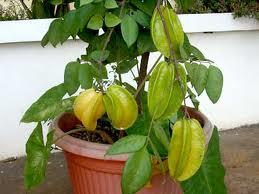 tanaman buah dalam pot, tabulampot, tanaman dalam pot