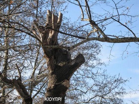 Ρημάξανε τα δέντρα στο Κιουπρί