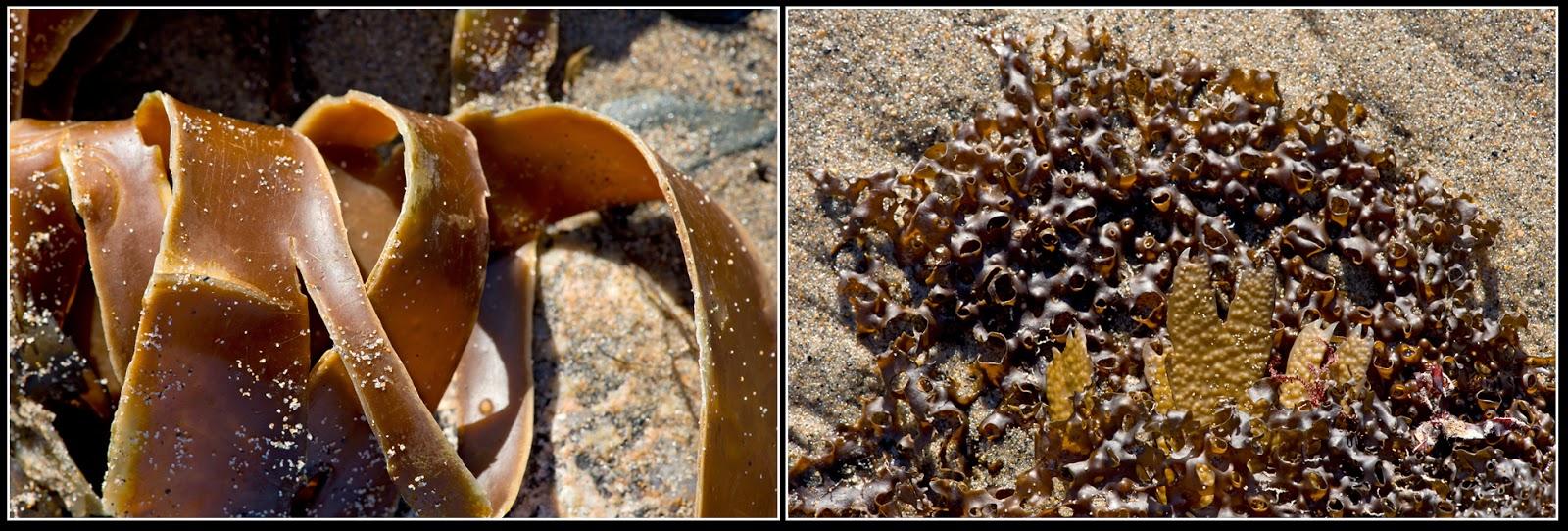 Nova Scotia; Hirtle's Beach; Seaweed