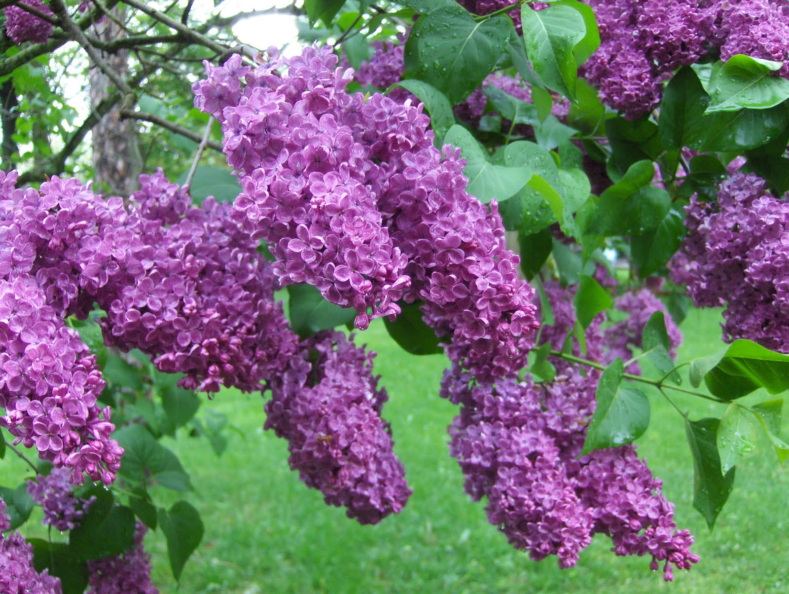 how to take a cutting from a lilac tree