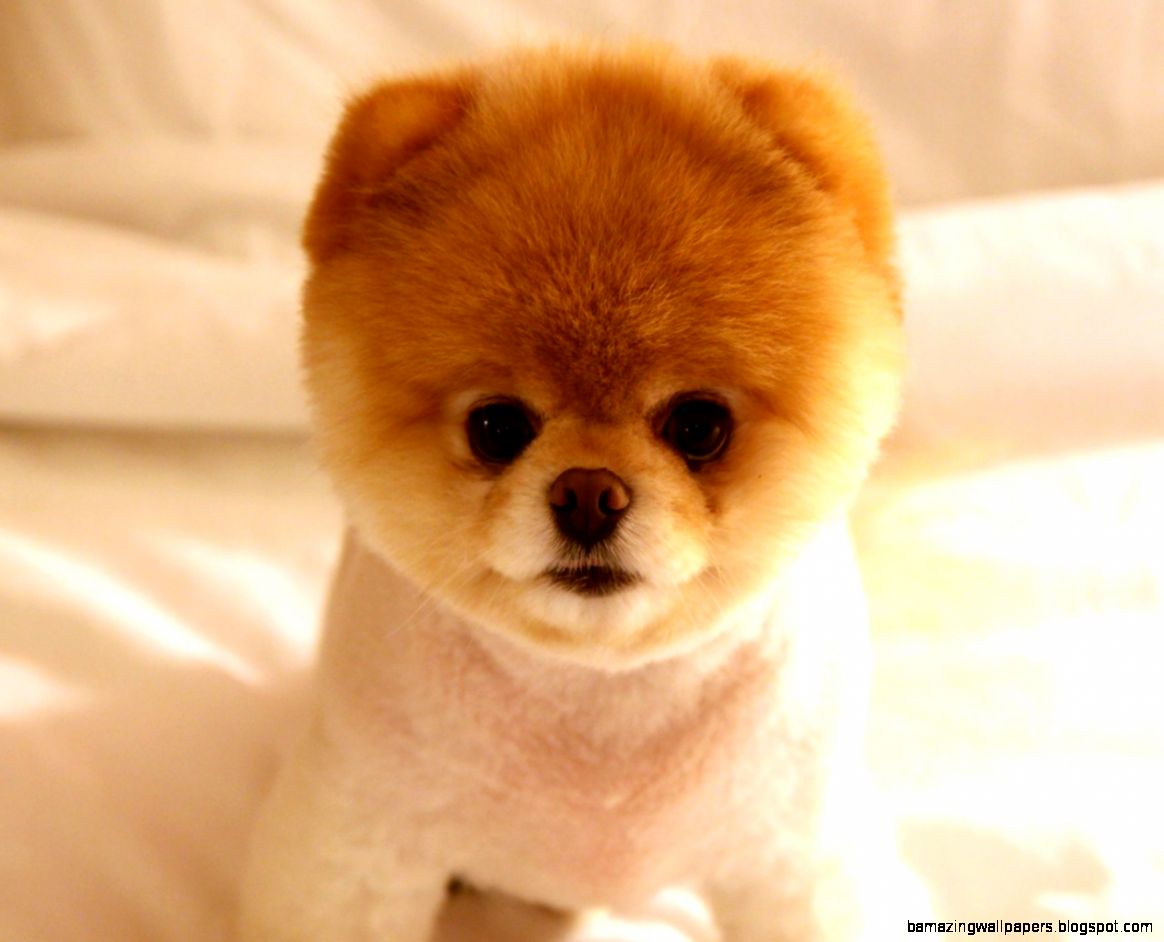 Cute Dog Boo Wallpapers  HD Wallpapers