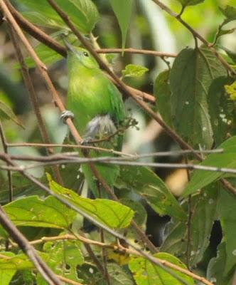 Lesser Green Leafbird (Chloropsis cyanopogon)