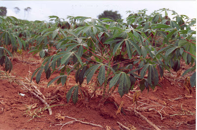Mandioca - Cultivo