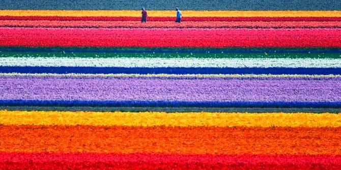 Ladang tulip Bollenstreek