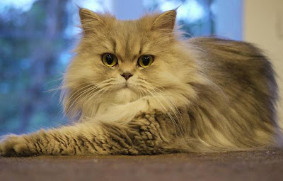 foto kucing persia bernama Chilerito milik Magnus Bråth