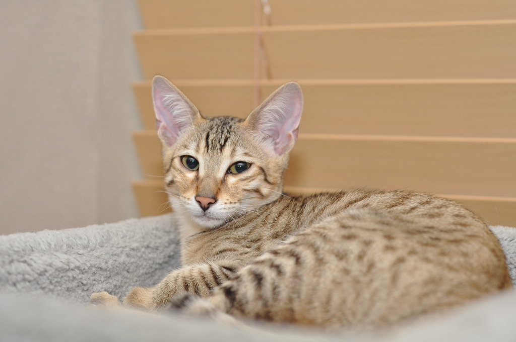 Kenali 8 Jenis Baka Kucing Paling Mahal Di Dunia Mynewsvibes