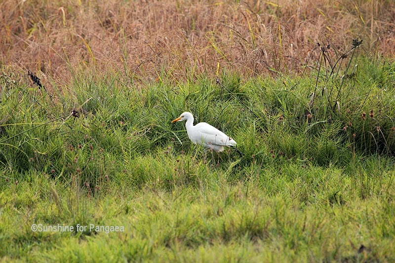 Intermediate Egret (Mesophoyx intermedia) in Gambia