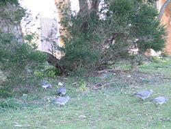 Las palomas torcaces... se alimentan placidamente.