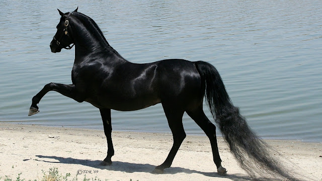 beautiful_black_horse_wallpaper_hd_magic
