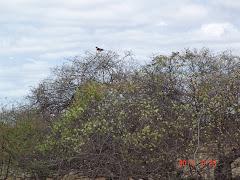 Gavião da caatinga