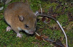 2010 十大新物種 - 9.巨型長毛鼠