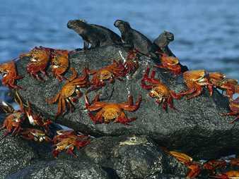 Muchos cangrejos sobre rocas